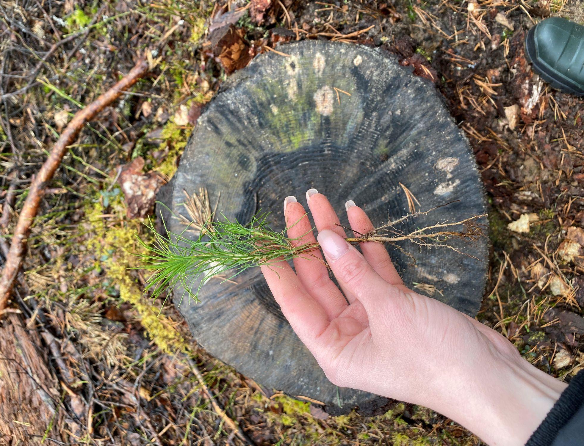 Как вырубать деревья без ущерба для леса: ситуация с лесовосстановлением в России