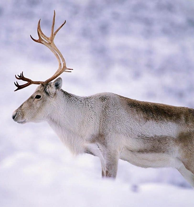 WWF России посвятит онлайн-встречу сохранению популяции северного оленя