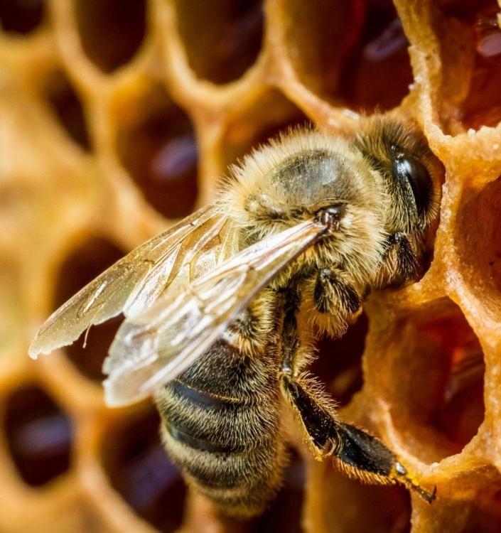 Свет, цветы, ульи в соборах и другие способы остановить гибель пчел