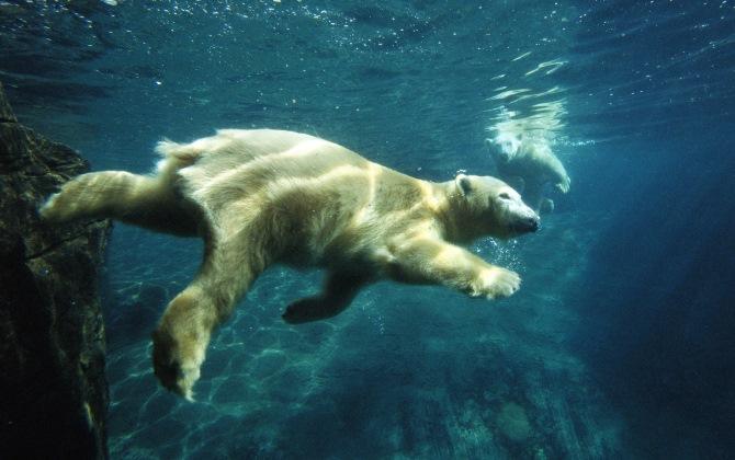 Из-за глобального потепления белые медведи стали ныряльщиками-рекордсменами