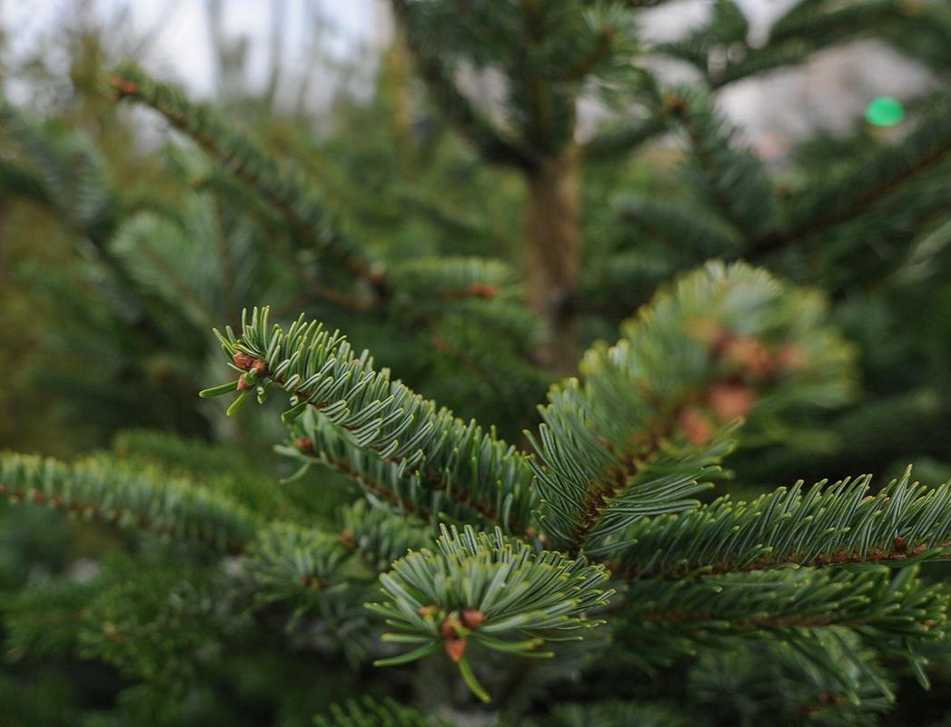 В Москве начали сбор новогодних елок в переработку