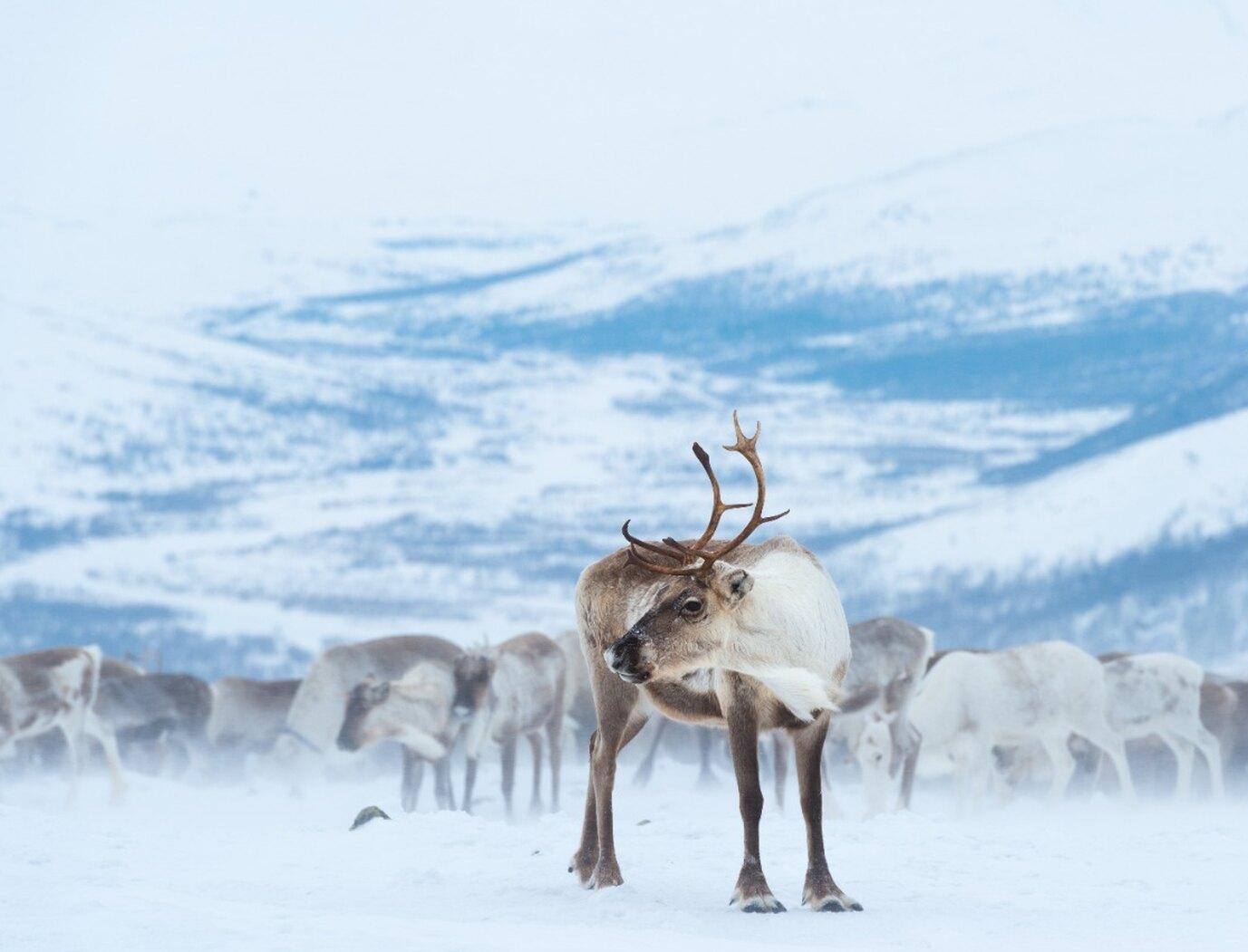 WWF России отметил День дикого северного оленя