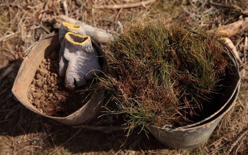 В национальном парке «Куршская коса» посадили 7520 деревьев через интернет