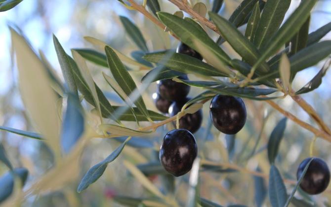 В Гранаде электроэнергию производят из оливкового масла