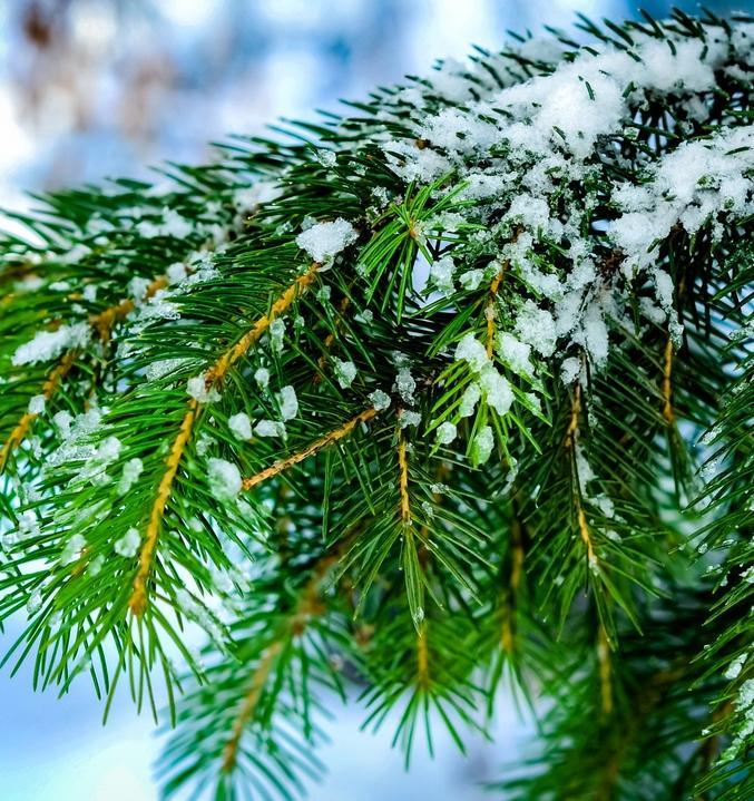 До конца января можно помочь высадить новые елки взамен вырубленных к Новому году