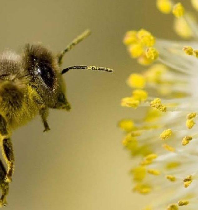 Изменение климата и перенос пыльцы растягивают сезон аллергии