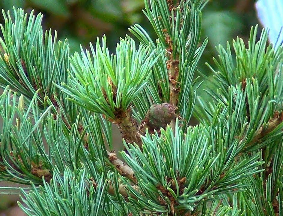 Компания «Свеза» высадила 174 тысячи сосен в Тюменской области