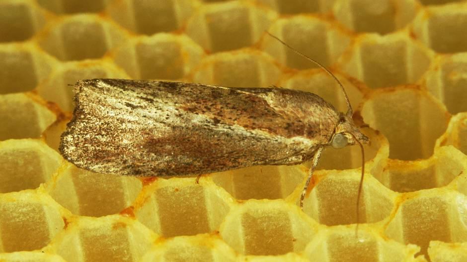 Ученые обнаружили гусениц, которые избавят мир от полиэтиленовых пакетов