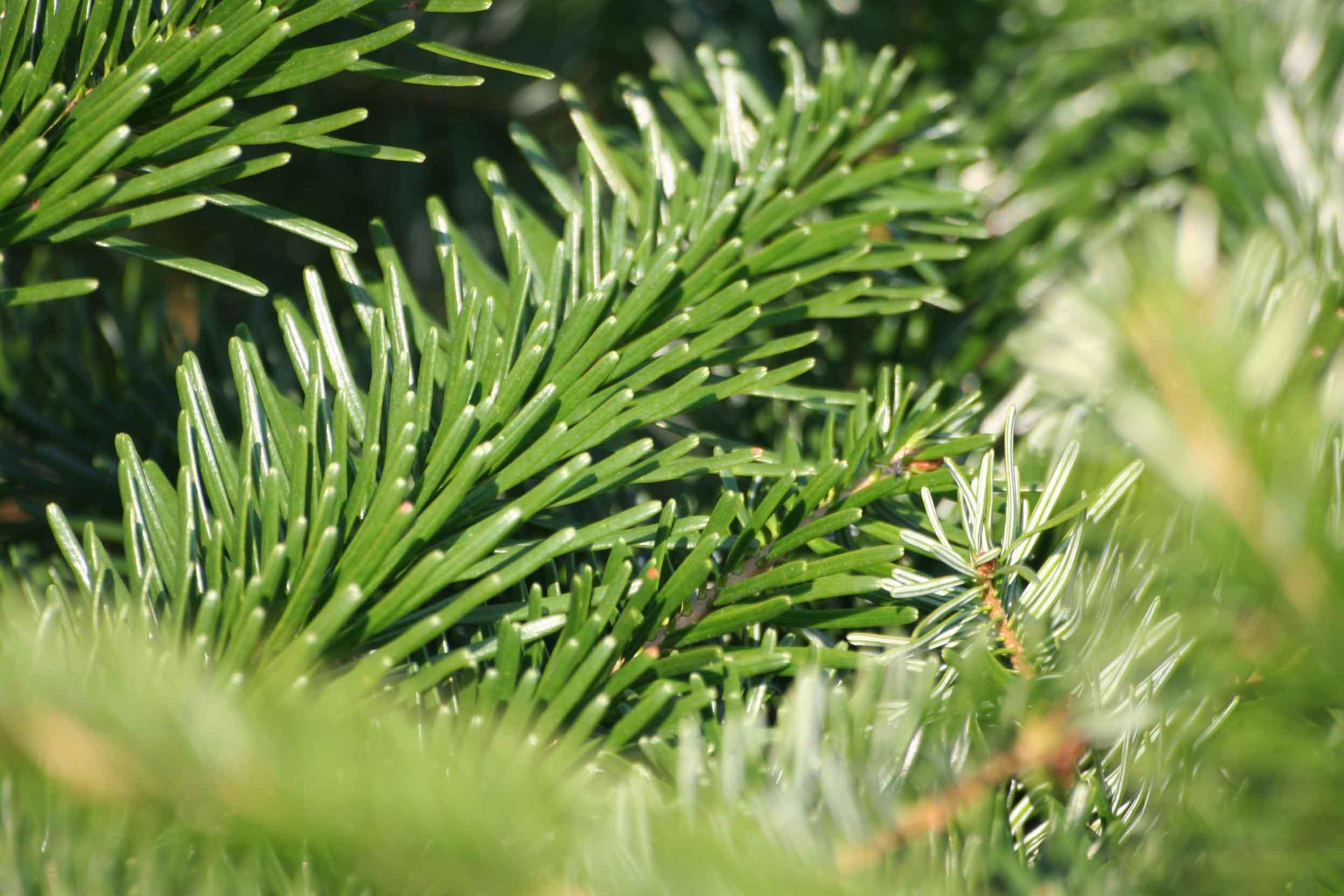 В Санкт-Петербурге соберут елки на переработку