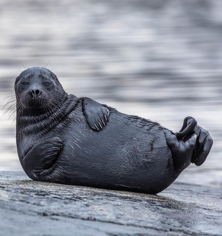 «Фонд друзей балтийской нерпы» запустил сбор средств для спасения тюленят