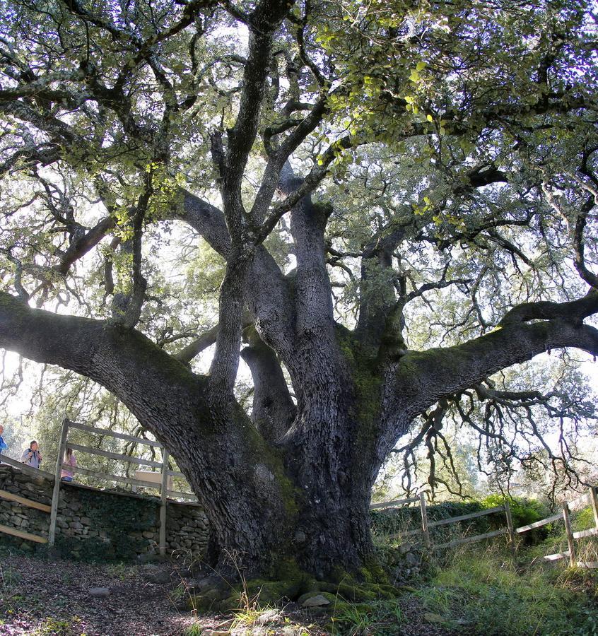 Дагестанский платан может стать Европейским деревом года — 2021