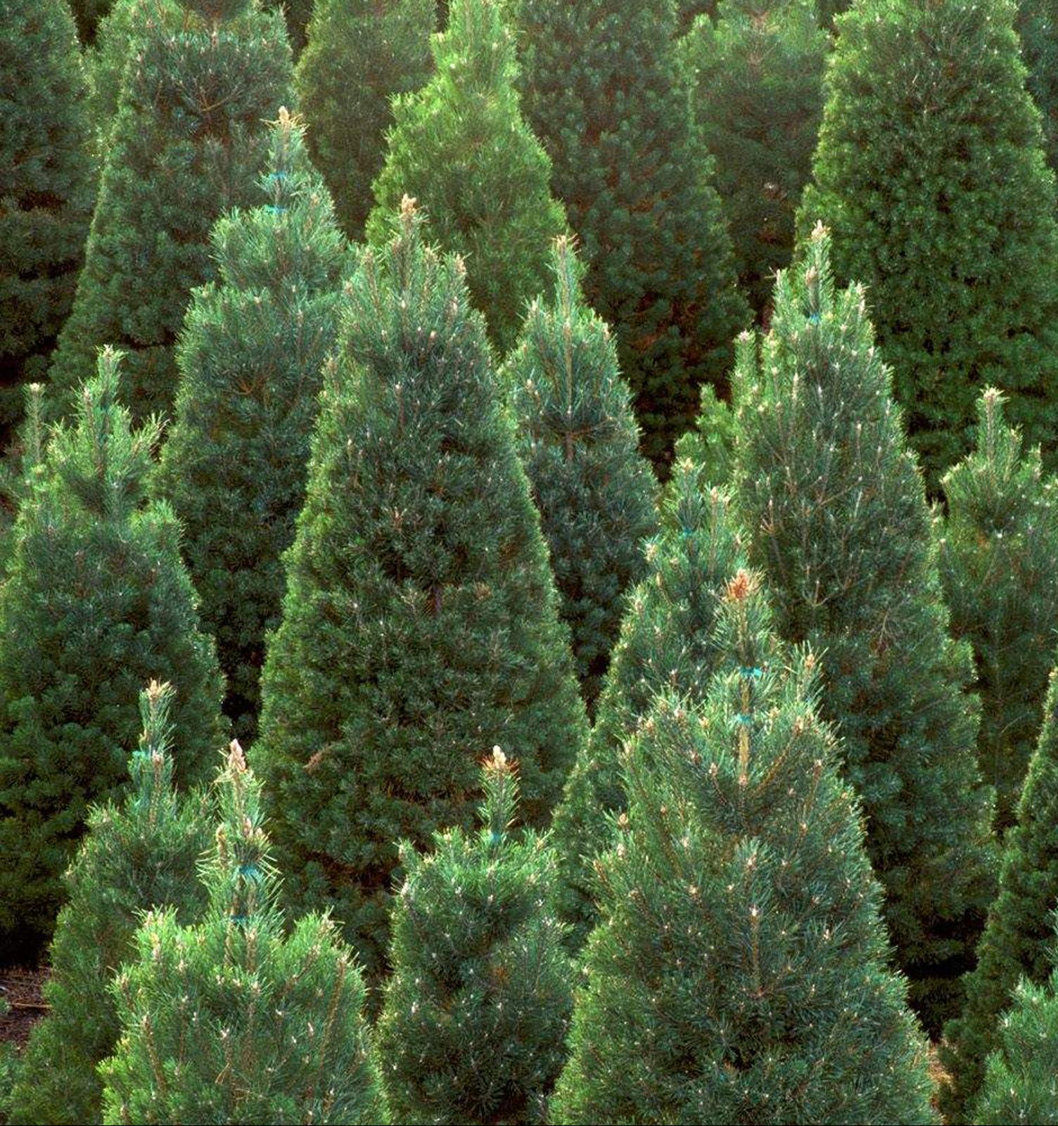 Переработка дня: подсластители из новогодних елок
