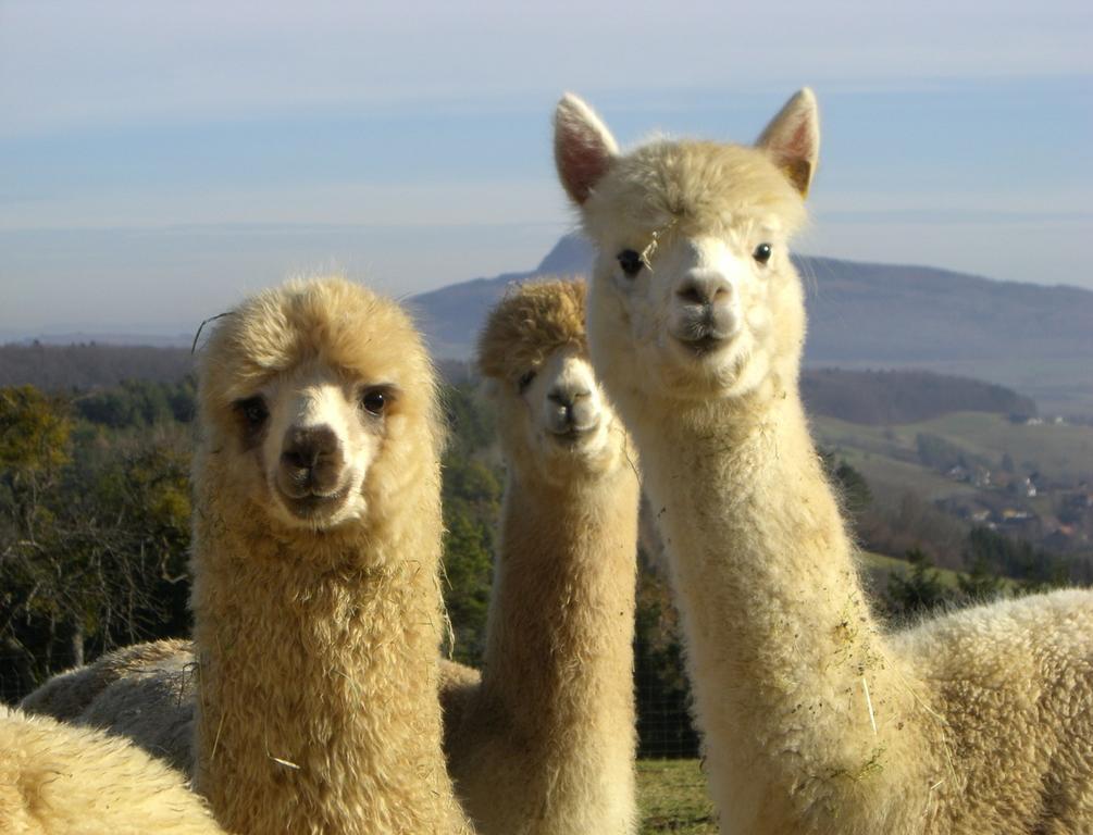 UNIQLO откажется от шерсти альпаки