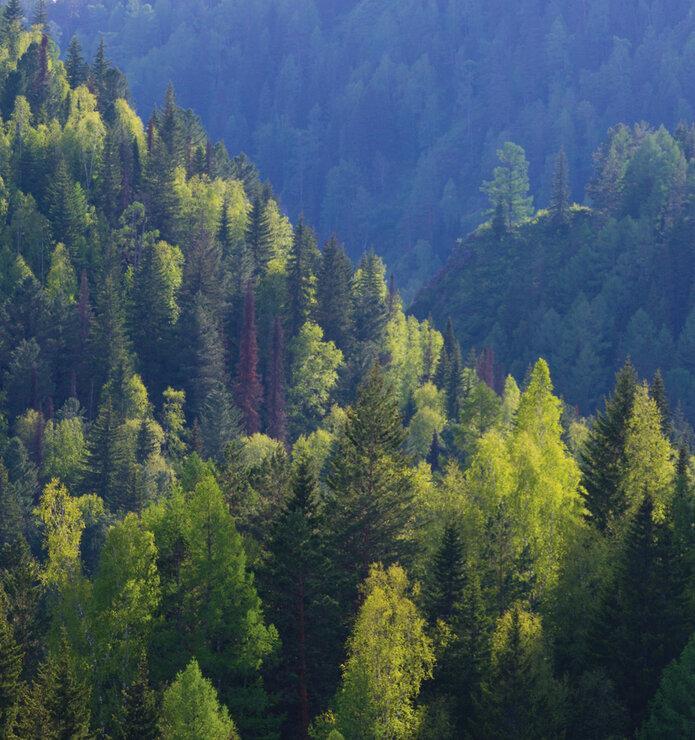 Lipton и «Пятёрочка» запустили экологическую акцию «Сохрани леса Сибири!»