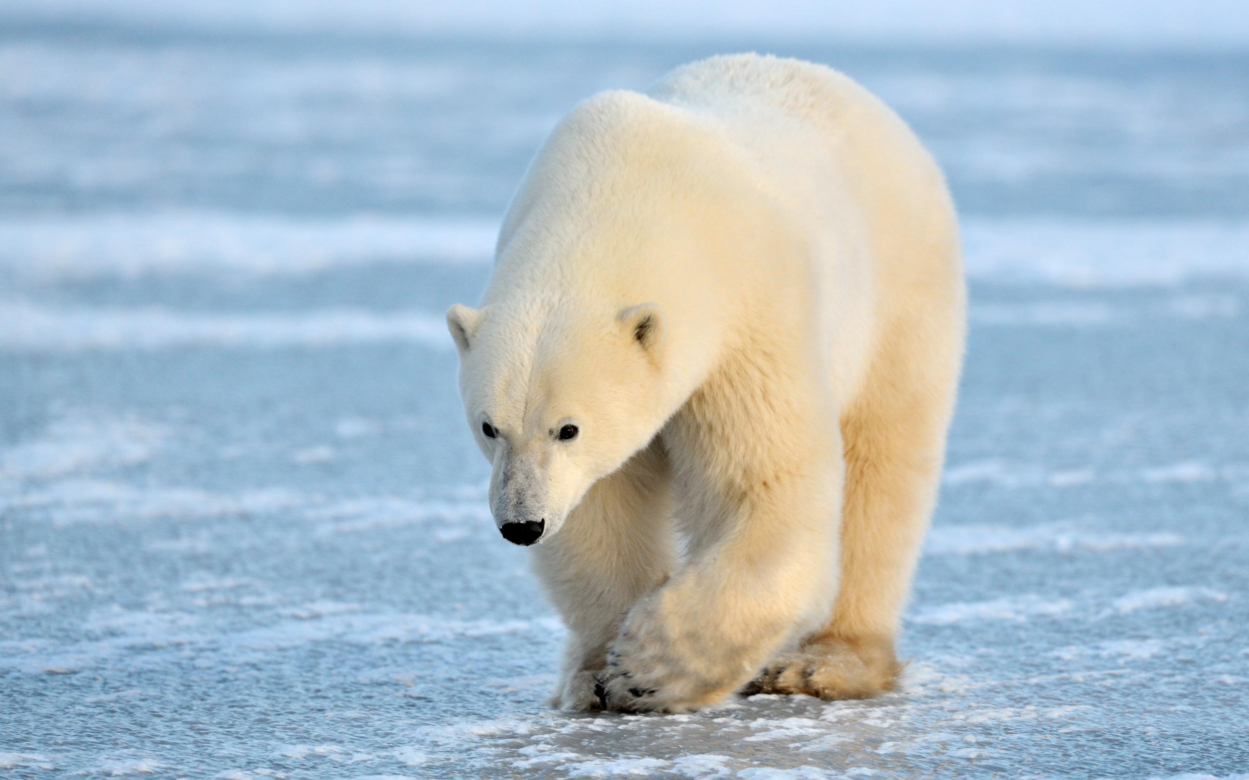 Минприроды требует расследования убийства медведицы в Арктике