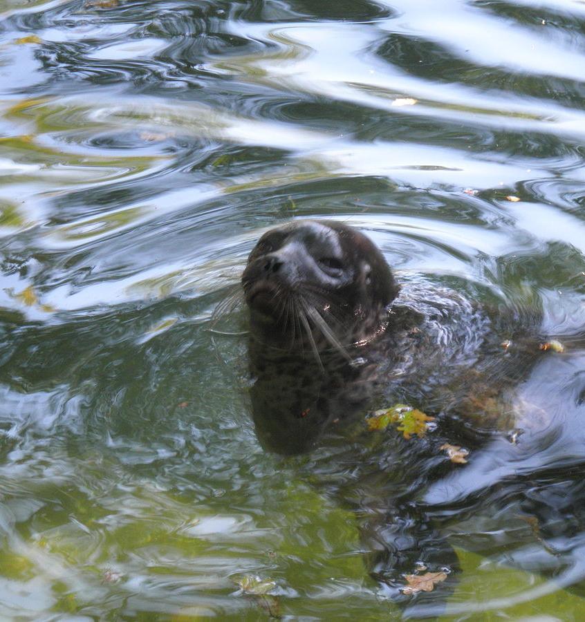 В Финский залив выпустили редких балтийских нерп и тюленя