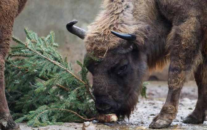 В Петербурге будут принимать новогодние елки для переработки