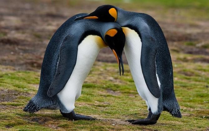 Из-за изменений климата популяция галапагосских пингвинов увеличилась в два раза