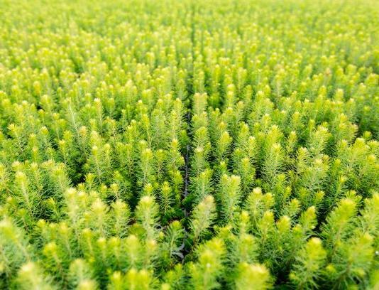 Лесной питомник в Псковской области вырастит вдвое больше деревьев