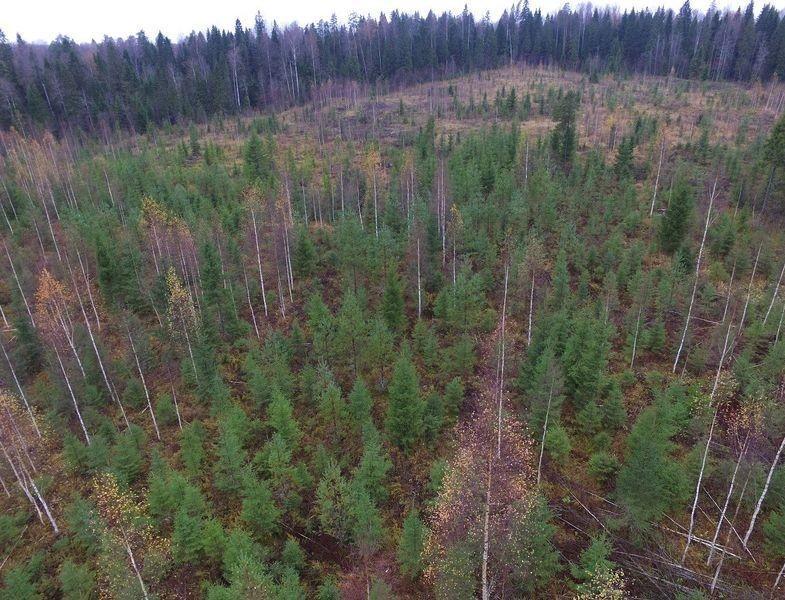 Как модель интенсивного лесного хозяйства может спасти российский лес