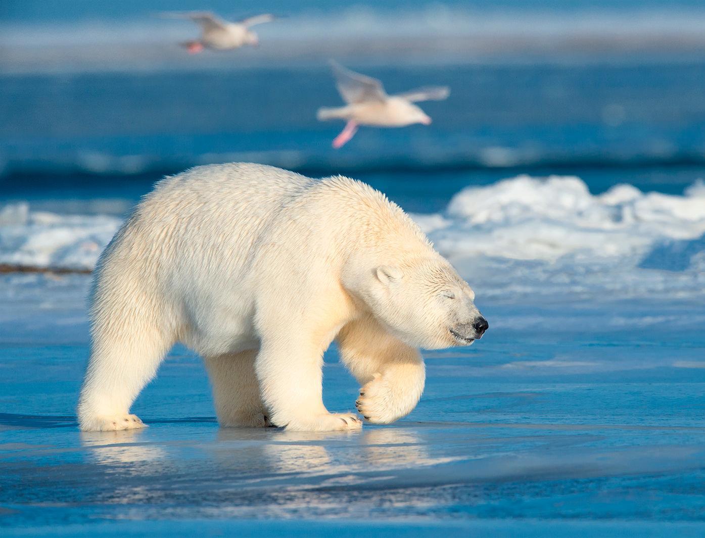 В России впервые пересчитают белых медведей