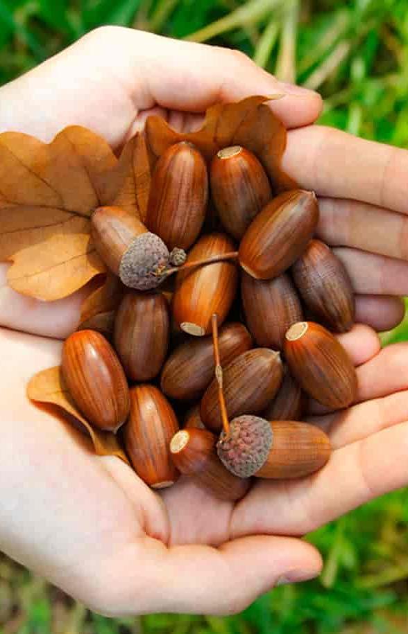 В магазинах «ВкусВилл» можно сдать желуди для лесных посадок